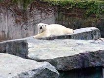 Ijsbeer die in dierentuin liggen royalty-vrije stock afbeeldingen