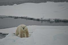 Ijsbeer die ijsijsschol in het Noordpoolgebied beklimmen royalty-vrije stock afbeelding