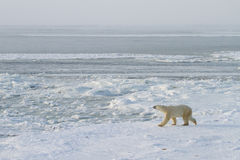 Ijsbeer die op ijs lopen Stock Afbeelding