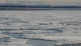 Ijsbeer die op overzees ijs lopen