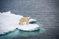 Ijsbeer die op overzees ijs lopen royalty-vrije stock foto's
