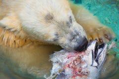 Ijsbeer die Vissenhoofd eten Royalty-vrije Stock Afbeelding