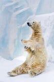 Ijsbeer in Dierentuin Royalty-vrije Stock Foto's