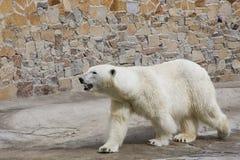Ijsbeer in een dierentuin Royalty-vrije Stock Afbeeldingen