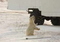 Ijsbeer en een toendra met fouten Royalty-vrije Stock Afbeelding