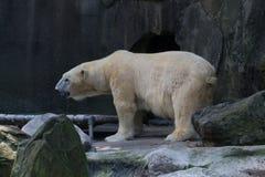 Ijsbeer in gevangenschap royalty-vrije stock fotografie