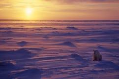 Ijsbeer in het Canadese Noordpoolgebied Royalty-vrije Stock Foto