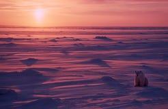 Ijsbeer in het Canadese Noordpoolgebied Royalty-vrije Stock Foto's
