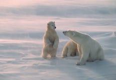 Ijsbeer in het Canadese Noordpoolgebied royalty-vrije stock afbeelding