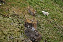 Ijsbeer in het de zomernoordpoolgebied Royalty-vrije Stock Afbeelding