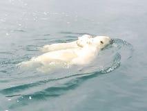 Ijsbeer in het Noordpoolgebied stock foto's