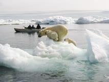 Ijsbeer in het Noordpoolgebied stock afbeeldingen