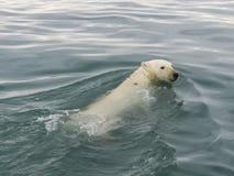 Ijsbeer in het Noordpoolgebied stock fotografie
