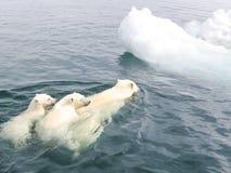 Ijsbeer in het Noordpoolgebied royalty-vrije stock fotografie