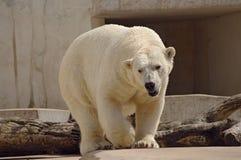 Ijsbeer in het paviljoen van de dierentuin Stock Afbeelding