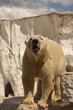 Ijsbeer in het paviljoen van de dierentuin Stock Foto's