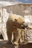 Ijsbeer in het paviljoen van de dierentuin Stock Foto