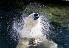 Ijsbeer in het water Royalty-vrije Stock Afbeelding