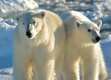IJsbeer isbjörn, Ursusmaritimus royaltyfria foton
