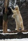 Ijsbeer, maritimus Ursus Royalty-vrije Stock Foto