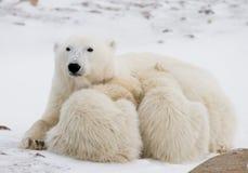 Ijsbeer met welpen in de toendra canada royalty-vrije stock foto's