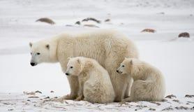 Ijsbeer met welpen in de toendra canada royalty-vrije stock fotografie