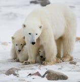 Ijsbeer met welpen in de toendra canada royalty-vrije stock afbeeldingen
