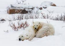 Ijsbeer met welpen in de toendra canada stock afbeelding