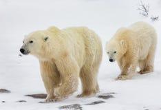 Ijsbeer met welpen in de toendra canada royalty-vrije stock afbeelding