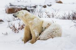 Ijsbeer met welpen in de toendra canada stock fotografie