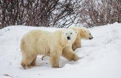 Ijsbeer met welpen in de toendra canada royalty-vrije stock foto