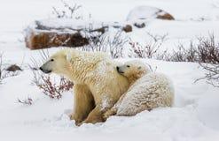 Ijsbeer met welpen in de toendra canada stock foto