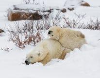 Ijsbeer met welpen in de toendra canada stock foto's