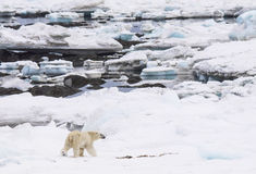 Ijsbeer in natuurlijk milieu - het Noordpoolgebied Stock Foto