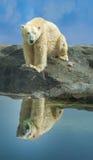Ijsbeer op een rotsachtige dagzomende aardlaag Stock Afbeeldingen