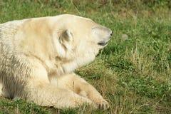 Ijsbeer op gras Royalty-vrije Stock Foto's