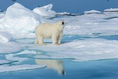 Ijsbeer op het ijs Royalty-vrije Stock Foto