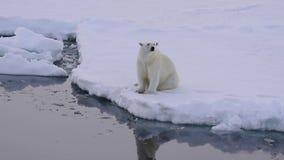 Ijsbeer op het ijs stock footage