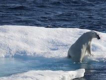 Ijsbeer op ijsijsschol royalty-vrije stock afbeeldingen