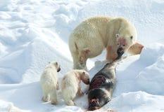 IJsbeer, oso polar, maritimus del Ursus imagen de archivo libre de regalías