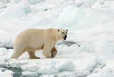 IJsbeer, ours blanc, maritimus d'Ursus images stock