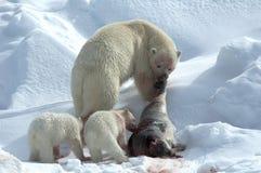 IJsbeer, ours blanc, maritimus d'Ursus photographie stock libre de droits