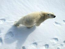 IJsbeer, ours blanc, maritimus d'Ursus photo libre de droits