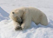 IJsbeer Spitsbergen; Isbjörn Svalbard arkivfoto
