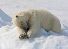 IJsbeer, Spitsbergen; Polar Bear, Svalbard stock photo