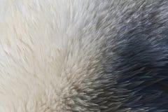 IJsbeer, Spitsbergen; Polar Bear, Svalbard. Vacht van IJsbeer, Spitsbergen; Fur of Polar Bear, Svalbard royalty free stock images