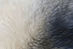 IJsbeer, Spitsbergen; Ijsbeer, Svalbard royalty-vrije stock afbeeldingen