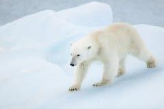 Ijsbeer in Svalbard Stock Foto