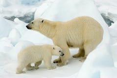 IJsbeer, urso polar, maritimus do Ursus imagens de stock