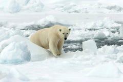 IJsbeer, urso polar, maritimus do Ursus foto de stock